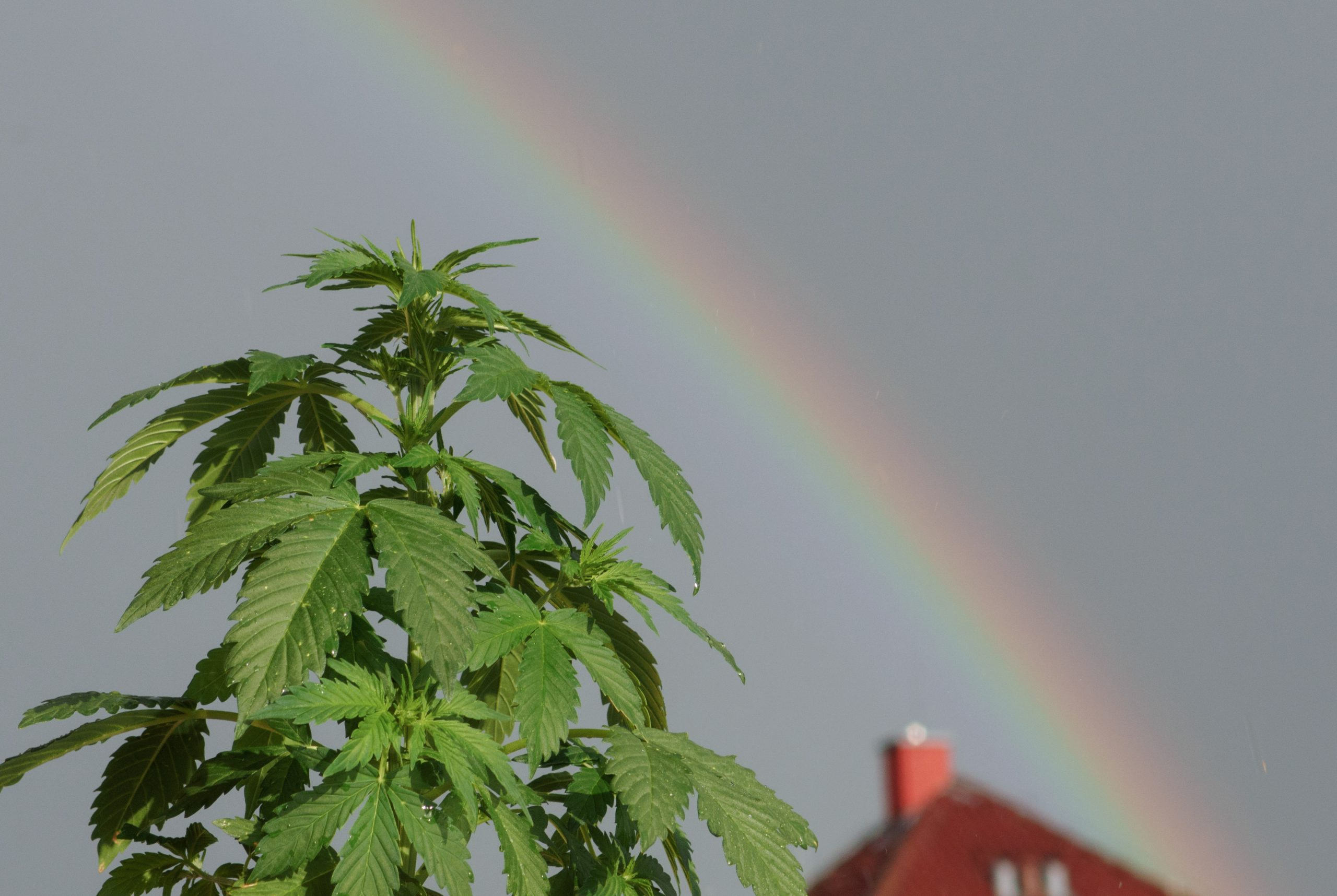 marihuana rainbow